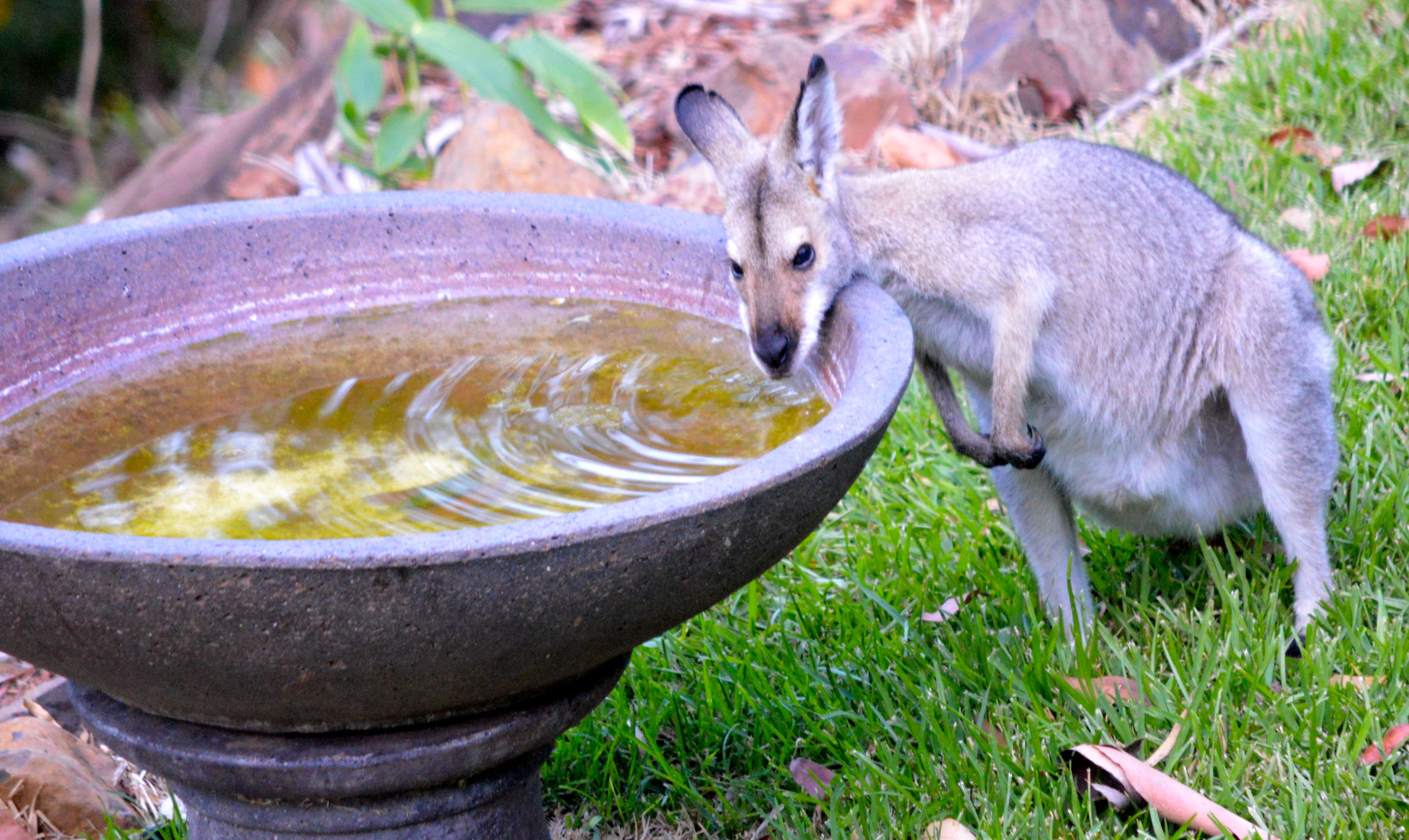 wallaby in queenslands dry months the wallabies rely on the