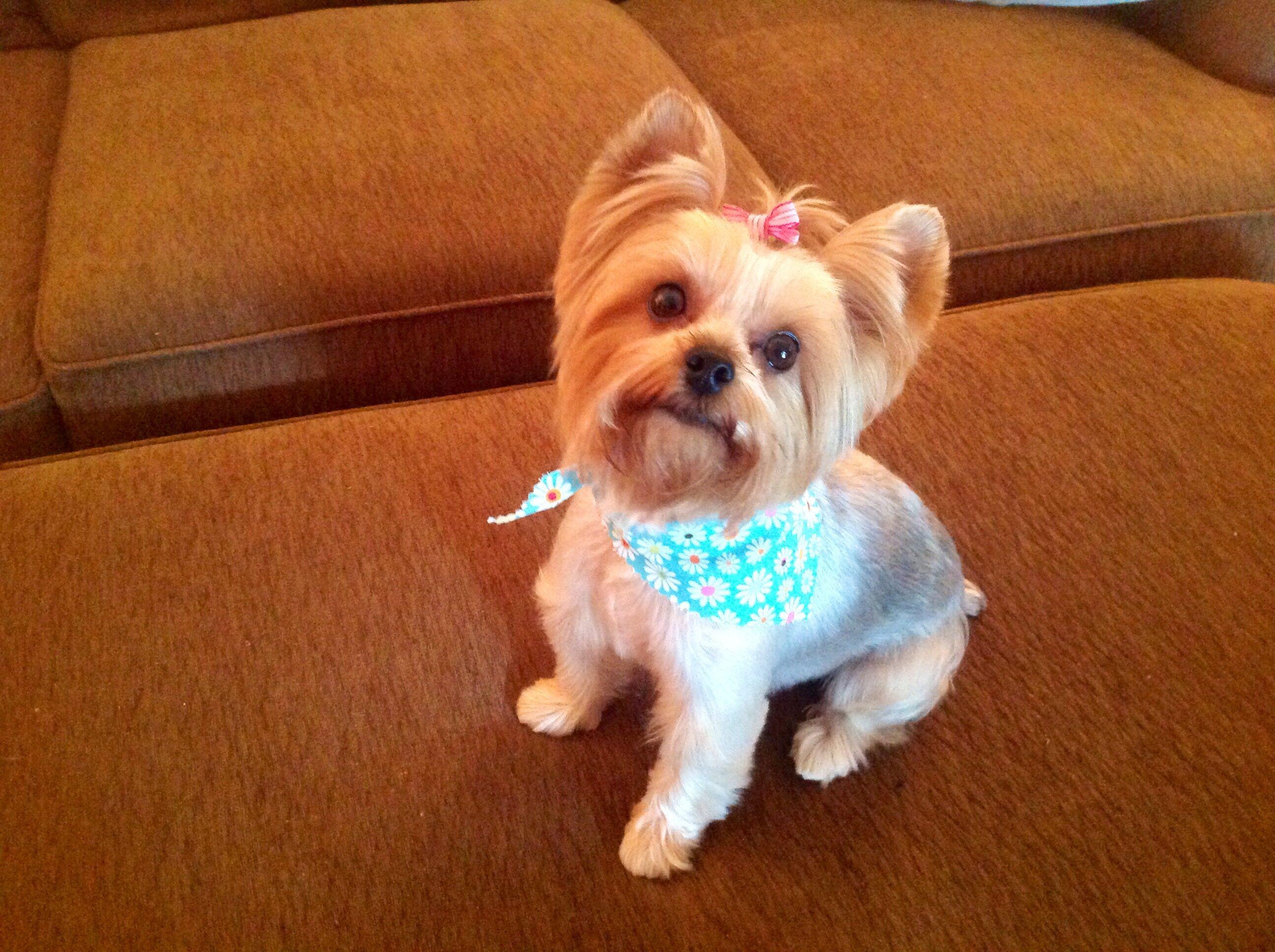 Sadie's new summer do....... Yorkie puppy, Yorkie