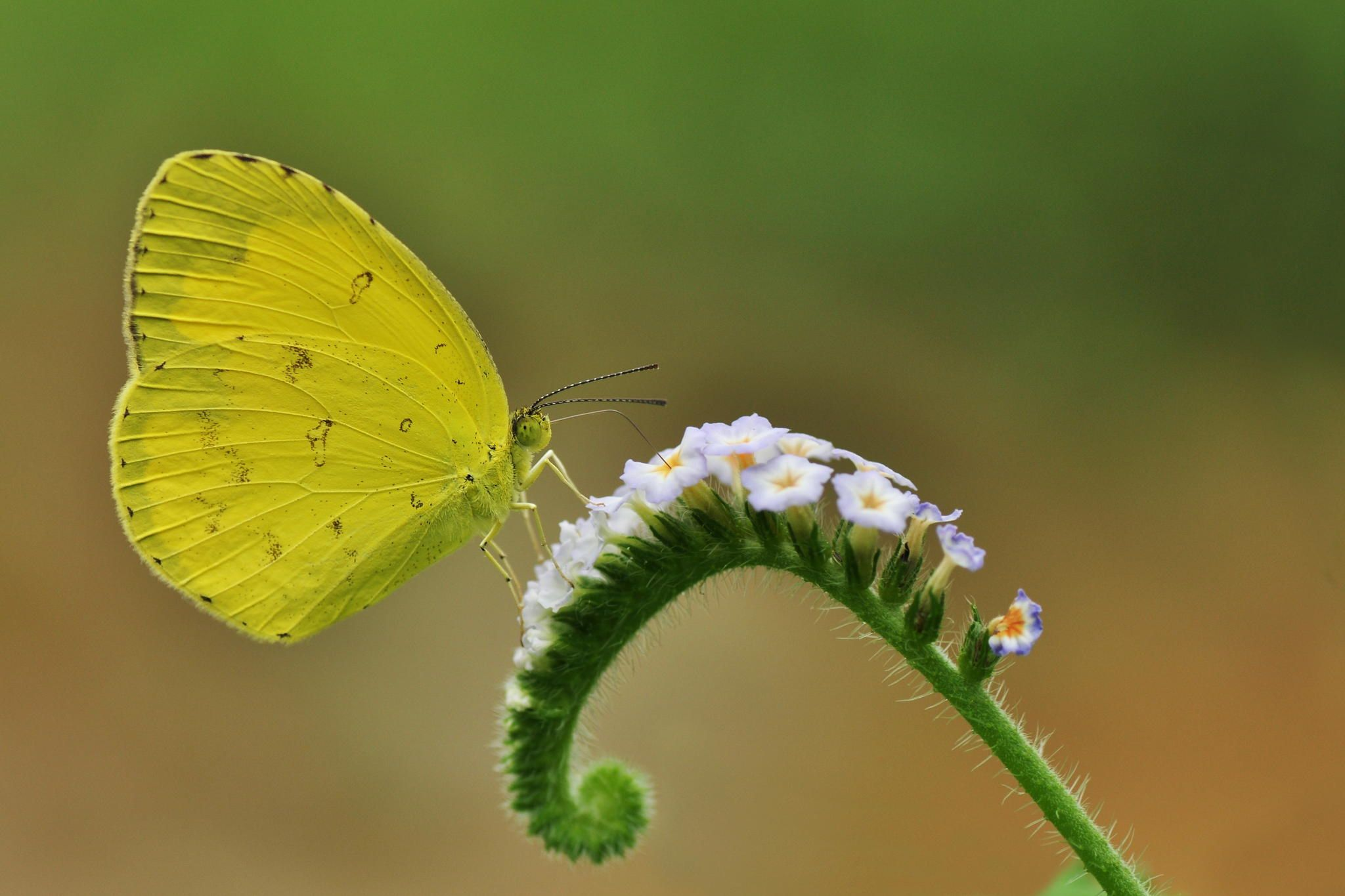 Common Grass Yellow by arindom bora on 500px