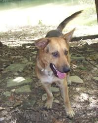 Adopt Dan On German Shepherd Dogs German Shepherd Mix Dogs