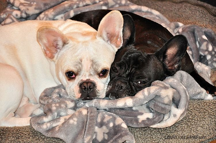 Ivdd In Dogs Oliver S Story French Bulldog Dogs Happy