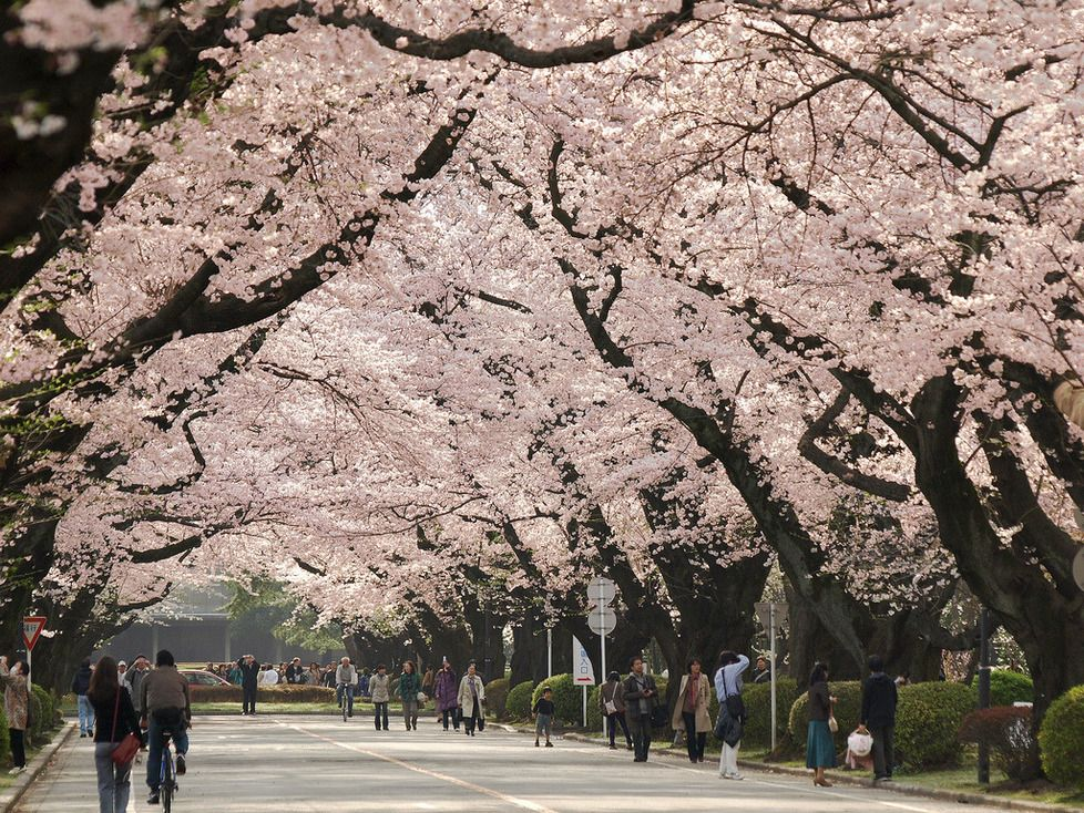 Cherry Blossom Tunnel In Tokyo Japan Tokyo Things To Do Tokyo Cherry Visit Tokyo