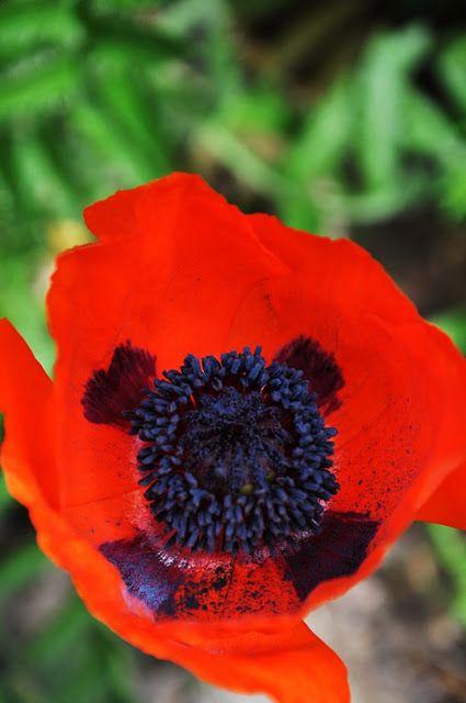 Liljor Och Tulpaner Mohnblume Blumen Mohn