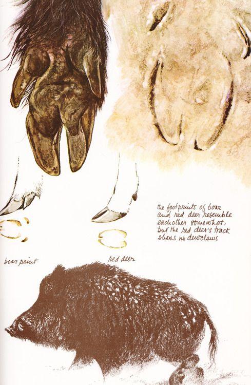 illustrination by Rien Poortvliet | Animals | Pinterest | Wild boar ...