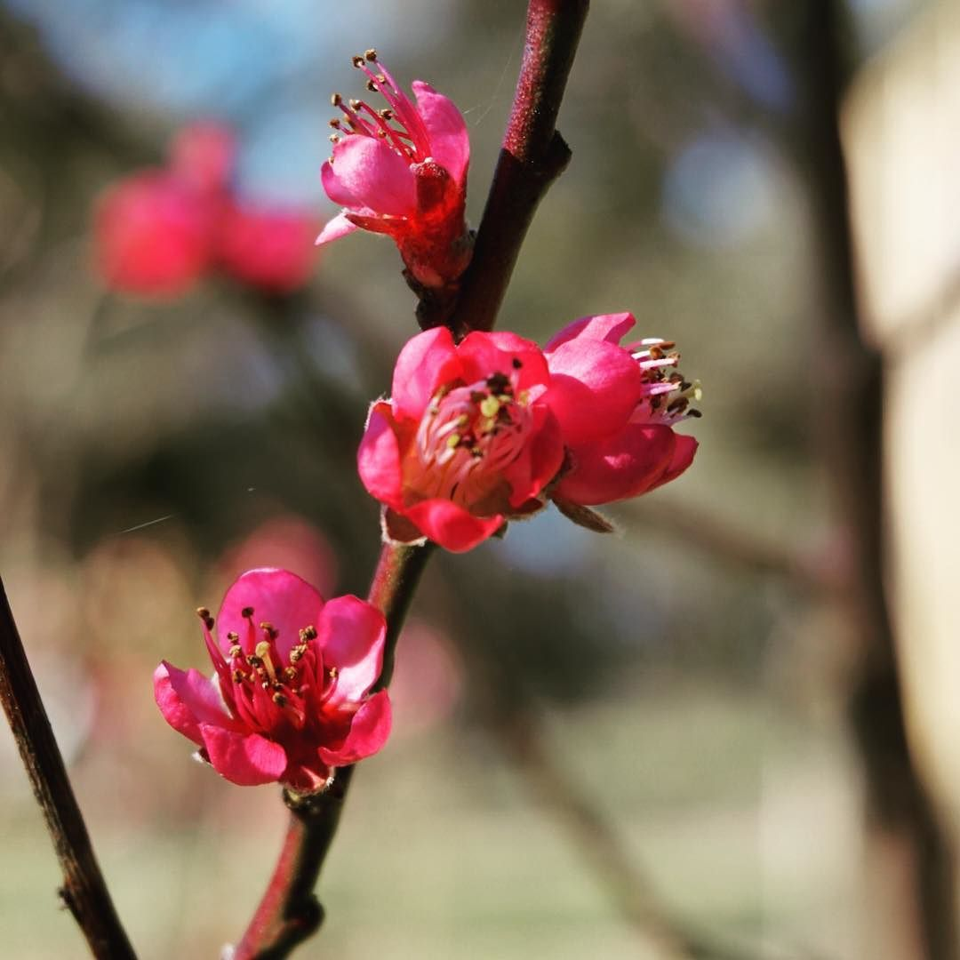 Sunshine and magenta peach blossom... #OakandMonkeyPuzzle #SpargoCreek #Daylesford #happydays #thesimplethings #home #spring