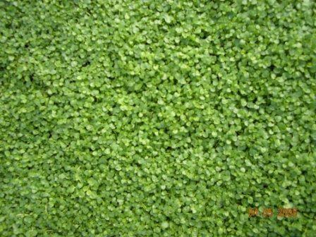 Butterfield Gardens Growing Mint Ground Cover My Secret Garden