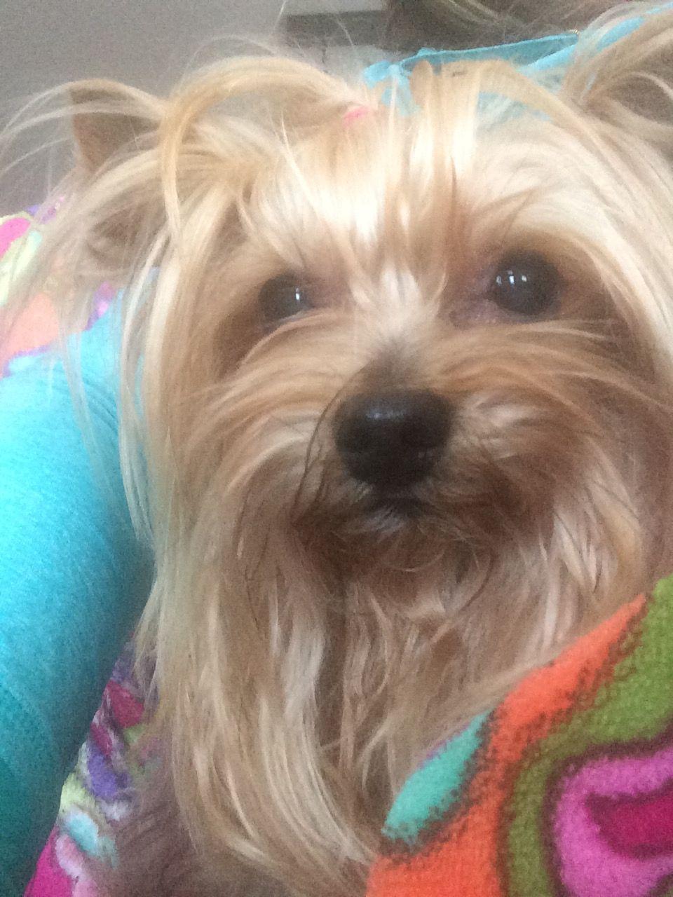 Divine Selene On Her 11th Birthday Yorkie Yorkshire Terrier Yorkshire