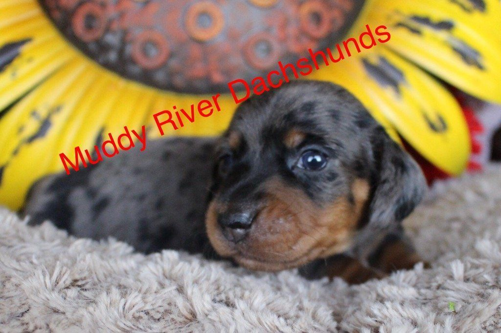 Gallery (With images) Funny dachshund, Puppies