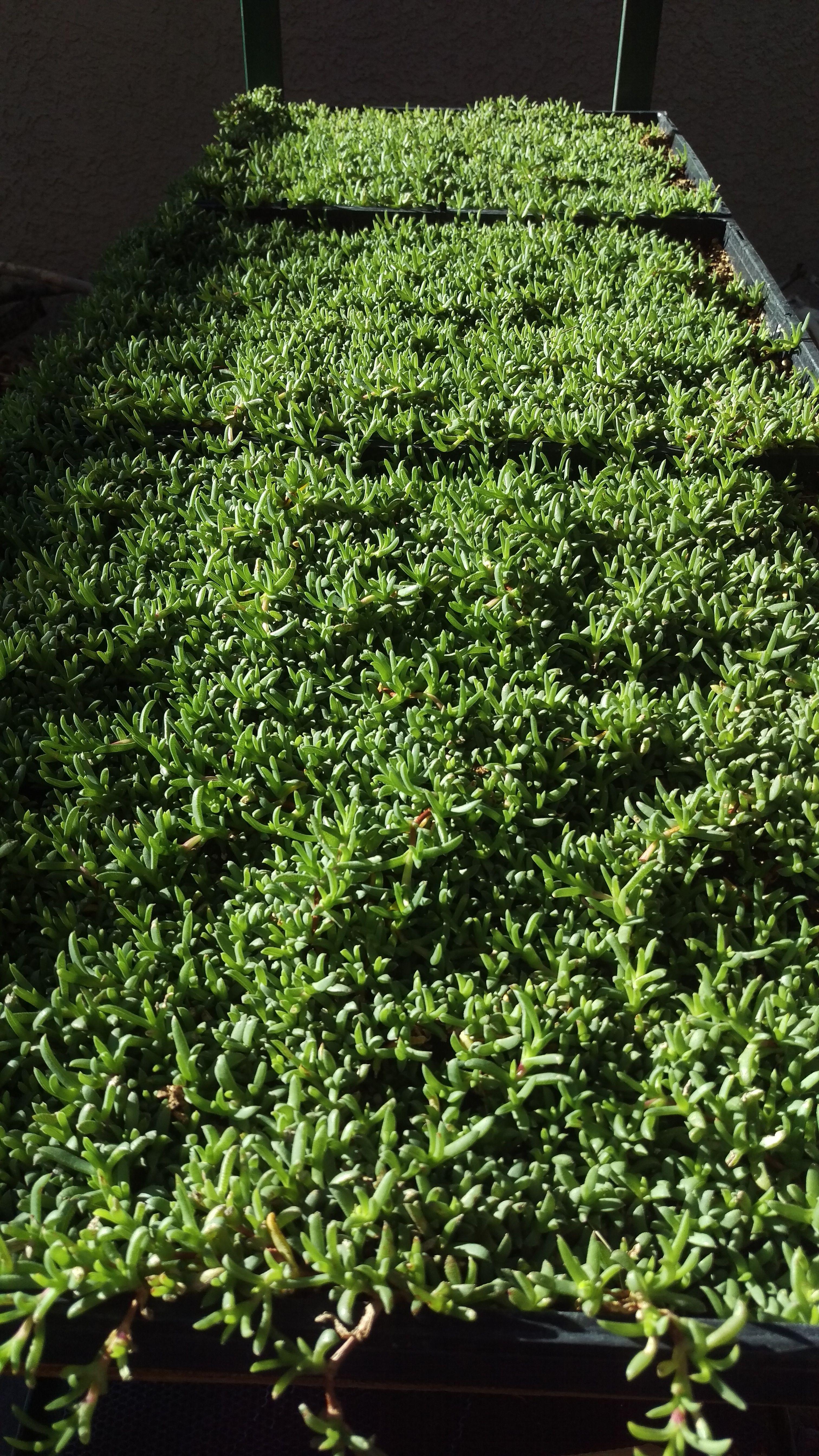 Dwarf Carpet Of Stars In Las Vegas In 2020 Drought Tolerant Landscape Grass Alternative Drought Tolerant Grass