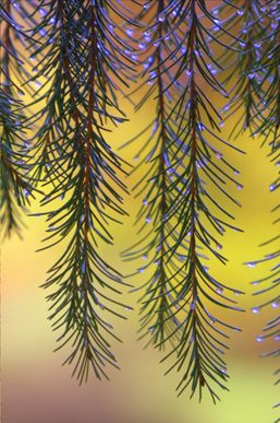Weeping spruce (Picea breweriana) in autumn. Richard Loader
