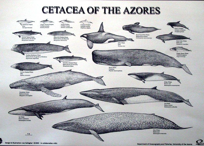 Cetacea   Killer Whales Adaptations