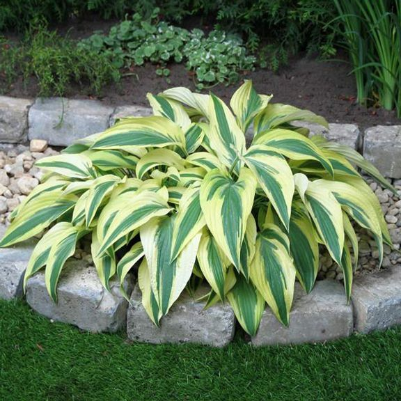 Image result for landscaping hostas over where evergreens died