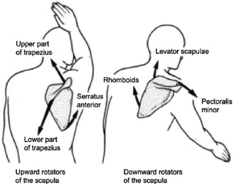 Image result for upward rotation of the right scapula