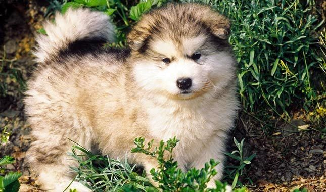 Must see Alaskan Malamute Chubby Adorable Dog - 852c45e0d9a6518ce0e59f15937d4944  Perfect Image Reference_652972  .jpg