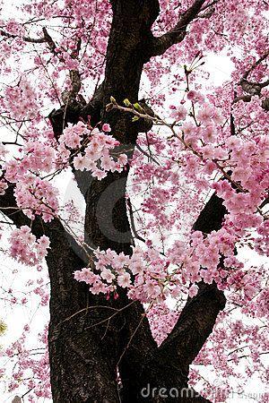 Pink Sakura Flowers In Osaka Japan Japan Flower Japanese Cherry Blossom Japanese Cherry
