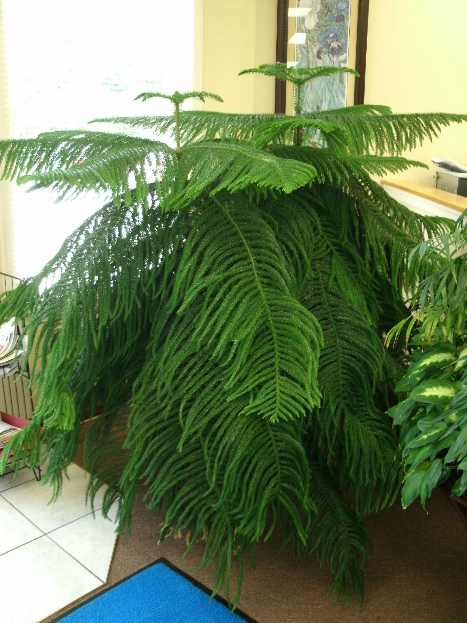 on spidar plant norfolk pine house
