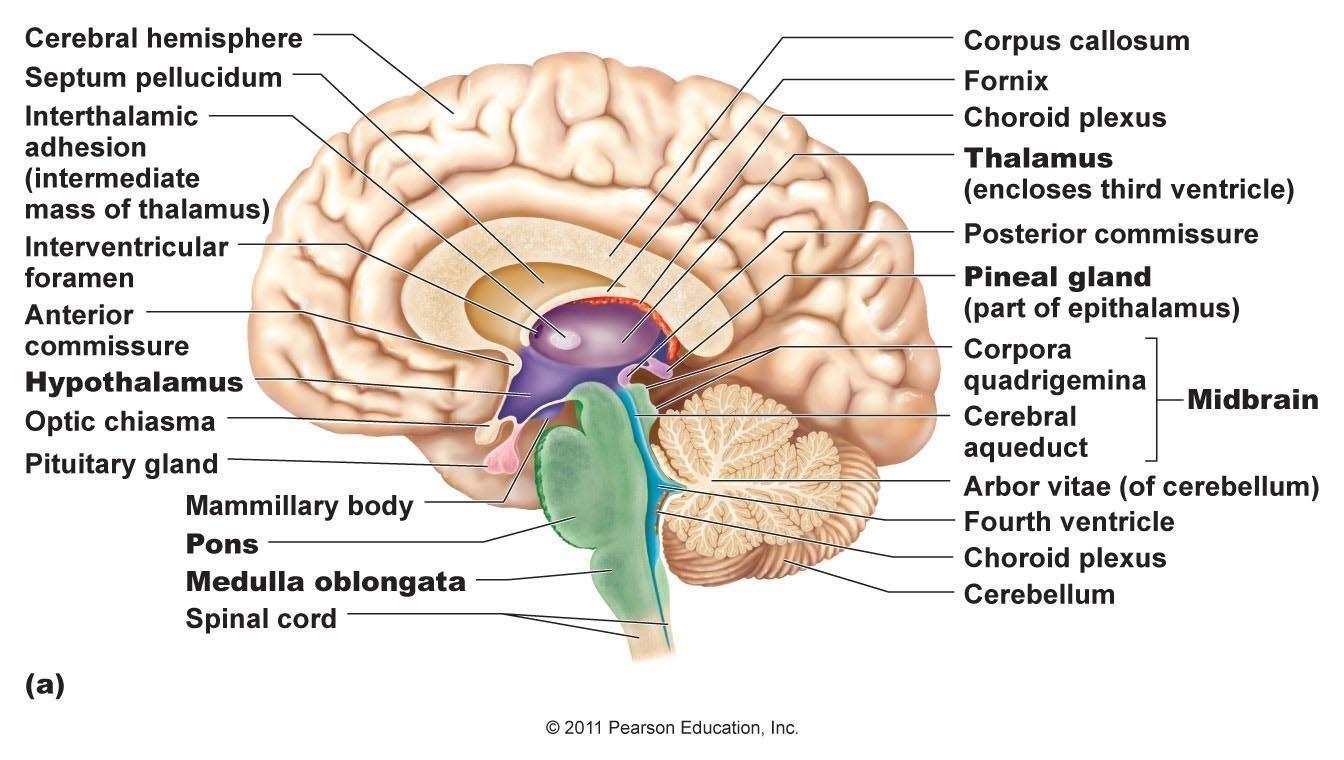 Ch  13 Diencephalon  Brain Stem  Medulla Oblongata At Northwestern Oklahoma State University