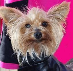 Willie Yorkshire Terrier Yorkie Dog Gilbert Az This Little 5 Pounder Is Looking For A New Home Adoptable Rescue Adopt Adoption Yorkie Neuter