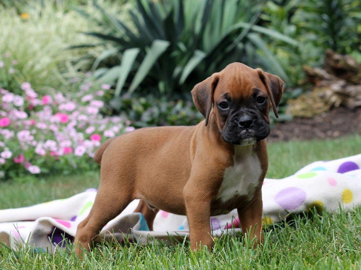 Get Terrific Pointers On Boxer Dogs They Are Available For You On Our Internet Site Boxer Puppies Boxer Puppies For Sale Boxer Dogs