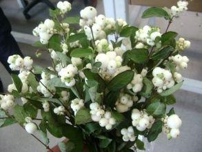 White Snowberry, ' lumimarja' Symphoricarpos albus /kuuma vesi, lehtiä voi nyppiä pois