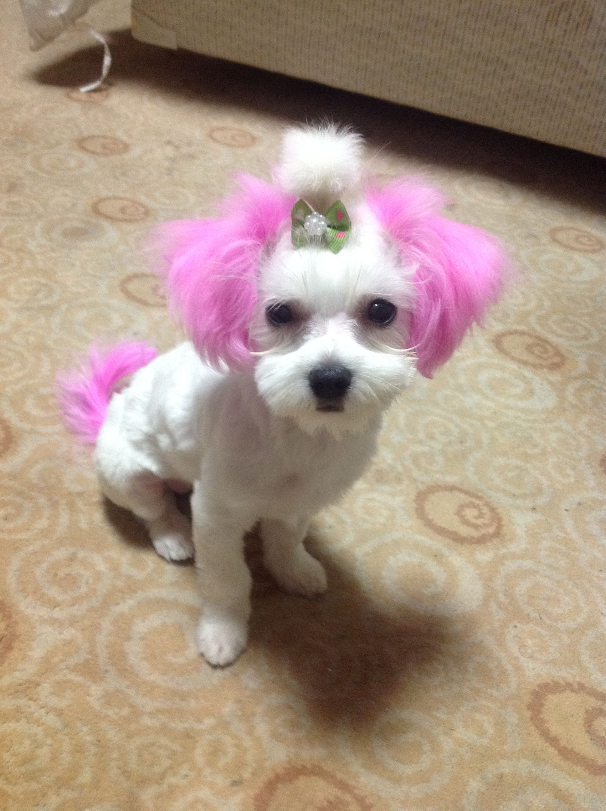 My Maltese With Her Tail And Ears Dyed Hot Pink Pink Dog Dogs
