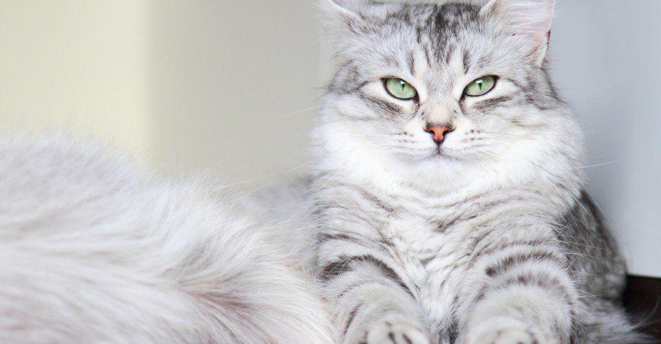 FIVE FLUFFIEST CAT BREEDS Fluffy cat, Fluffy cat breeds