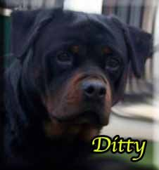 Official Retirement Of Ditty Rottweiler Rottweiler Puppies For