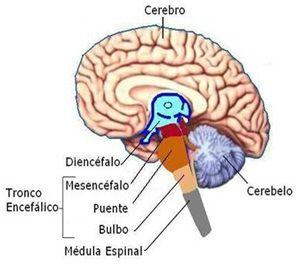Sistema Nervioso Central Encéfalo Y Tronco Del Encéfalo
