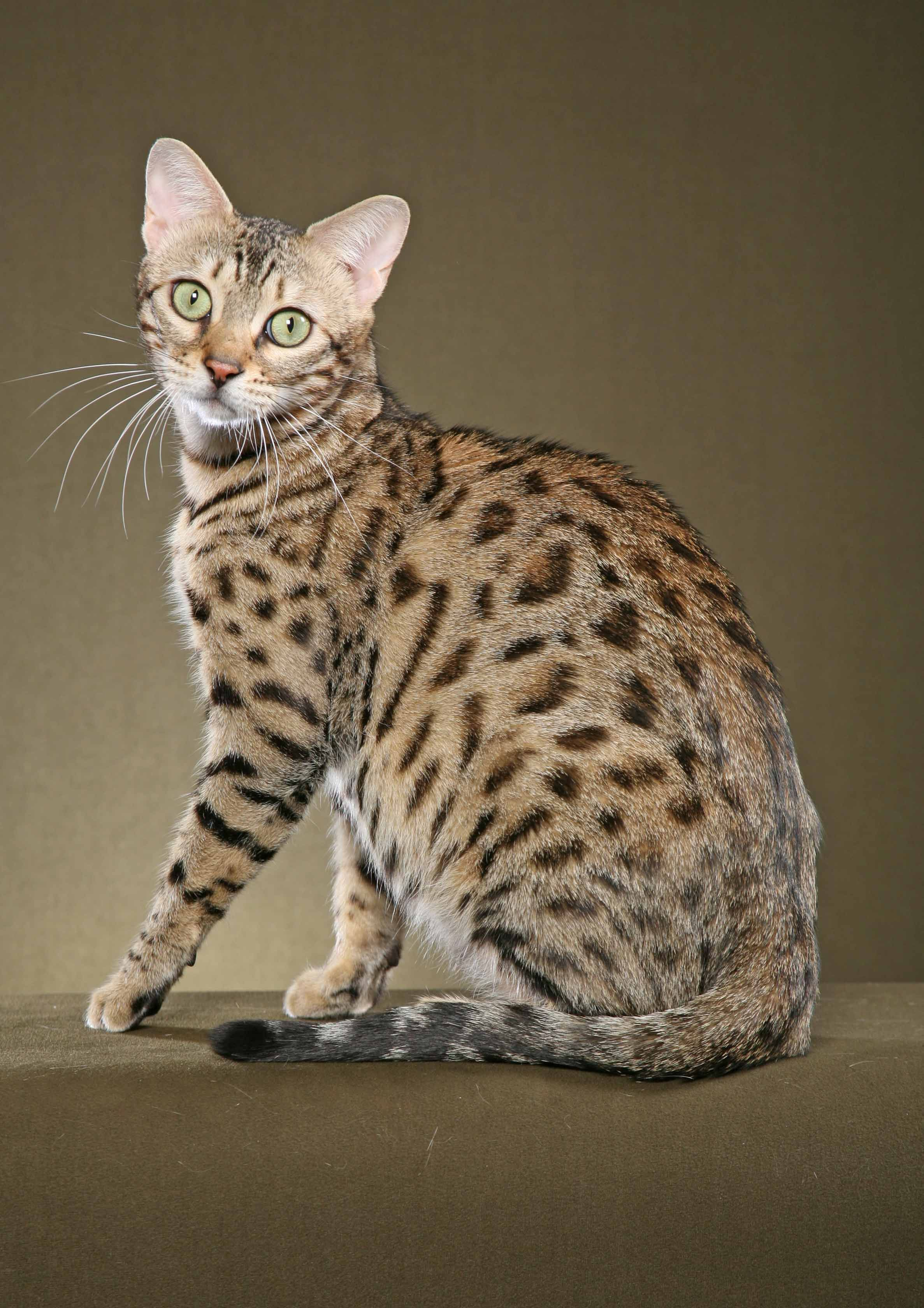 13 Smartest Cat Breed In The World Domestic Cat Breeds Cat