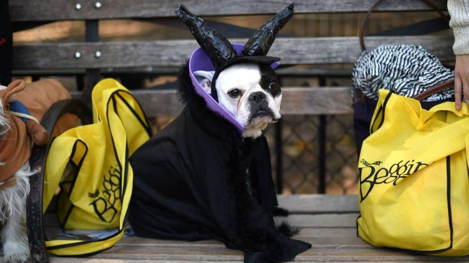 Witch/HEKS: Hund i heksekostyme tar en hvil under paraden.Foto: Timothy A. Clary / AFP