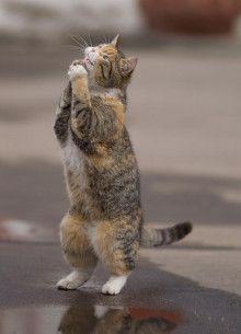 猫が後ろ脚だけで立ち上がるのは、「〇〇したい!」というモチベーションが高まってるサイン|『猫の説明書』 聞いてほしいニャ…ネコ達の本音