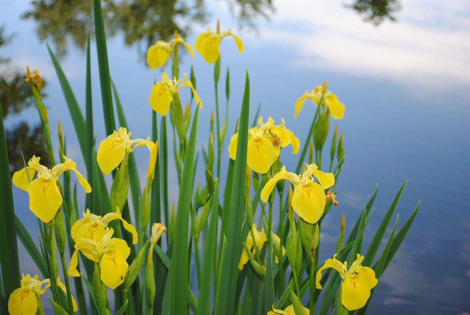 Kollane võhumõõk, Iris pseudacorus Minu taimede