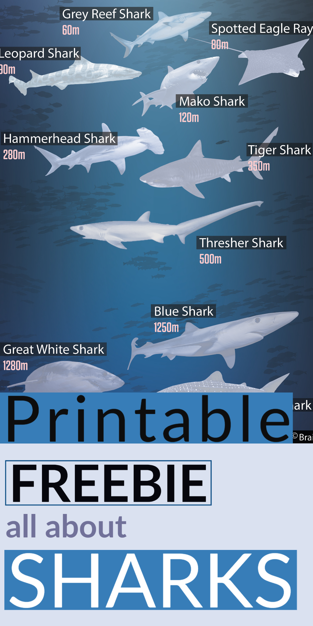 The Secret Life Of Sharks Charts Worksheets And Lesson Plasns Free Homeschool Sharks For Kids Types Of Sharks [ 2000 x 1000 Pixel ]