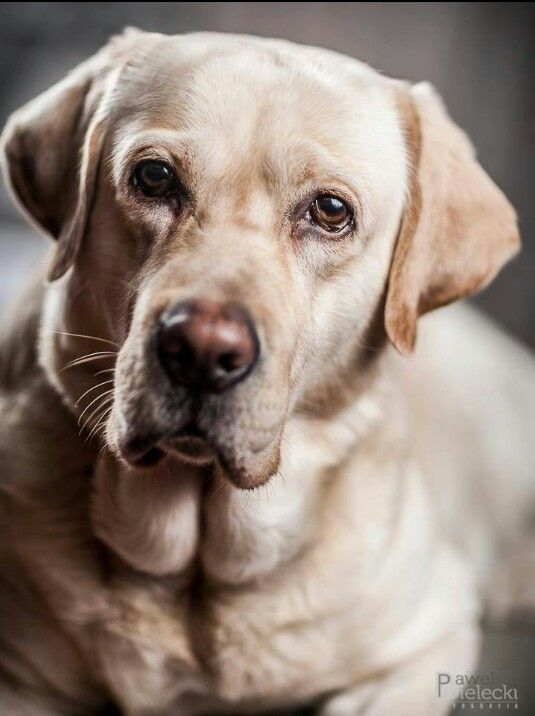 Puppy Expressions Labrador Retriever Labrador Dog Labrador