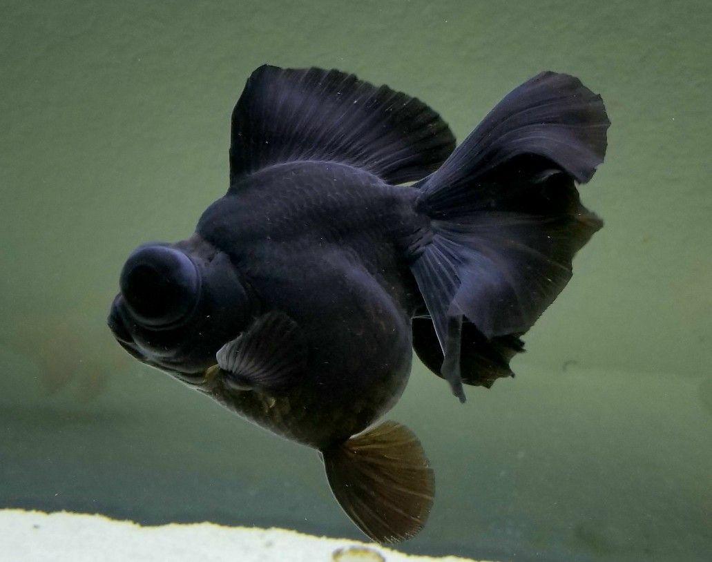 Gigantic Black Butterfly Telescope Goldfish Pet Goldfish Goldfish Freshwater Aquarium Fish