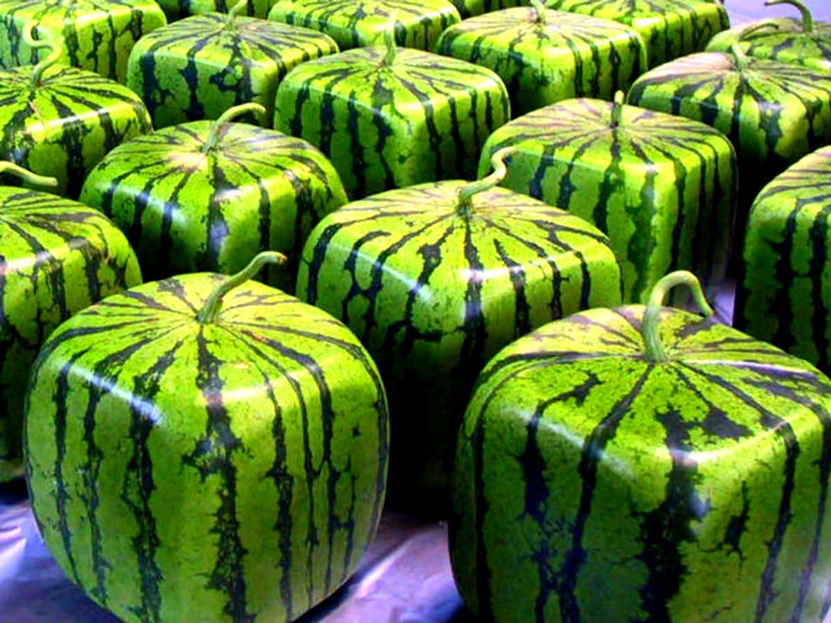 Watermelon cubes think about it its way more efficient to store want to grow square watermelon yep you read it right if you do find a waterproof box and use it to put a small watermelon in with the lid open so the nvjuhfo Choice Image