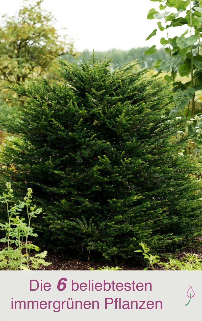6 beliebte immergrüne Pflanzen für den Garten