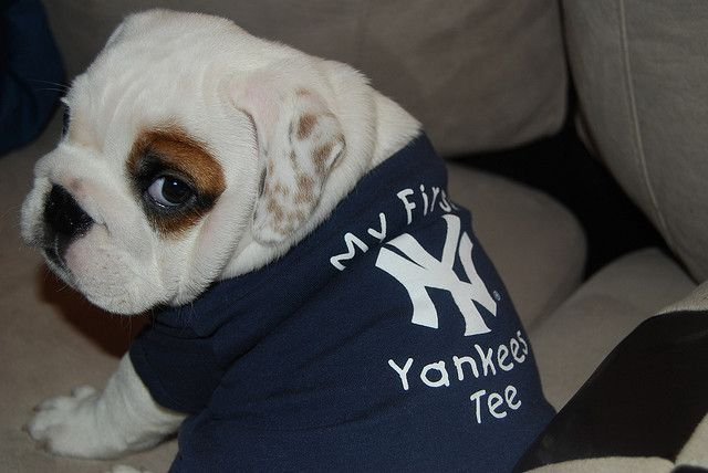 huge selection of 11f36 4fc08 english bulldog puppy wears yankees baseball puppy dog ...