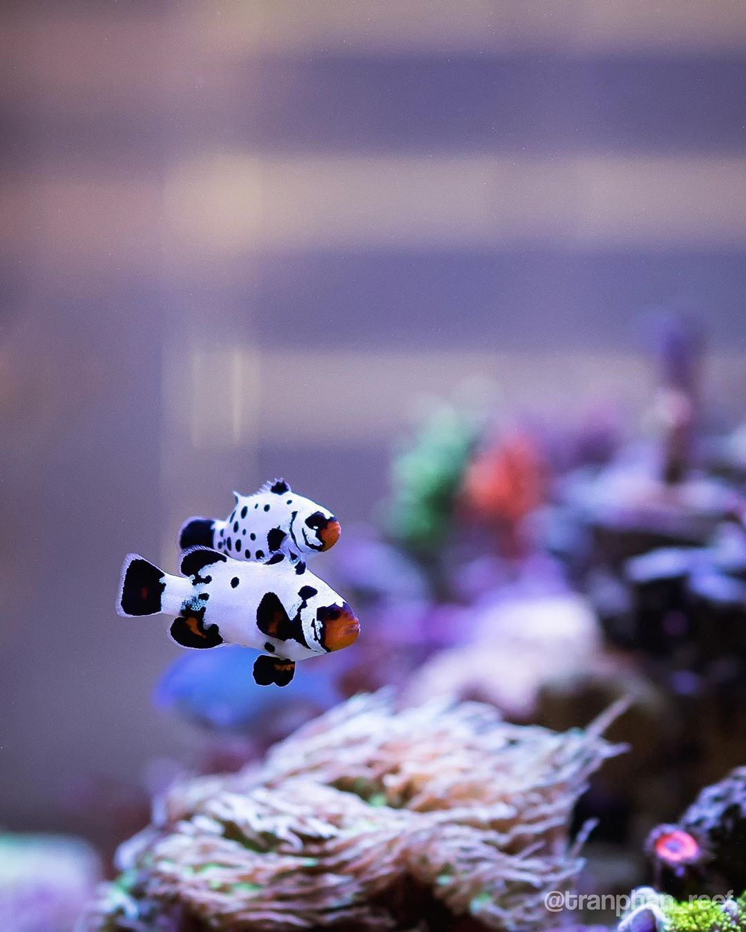 These Two Are Inseparable Tropical Fish Tanks Saltwater Fish Tanks Pet Fish