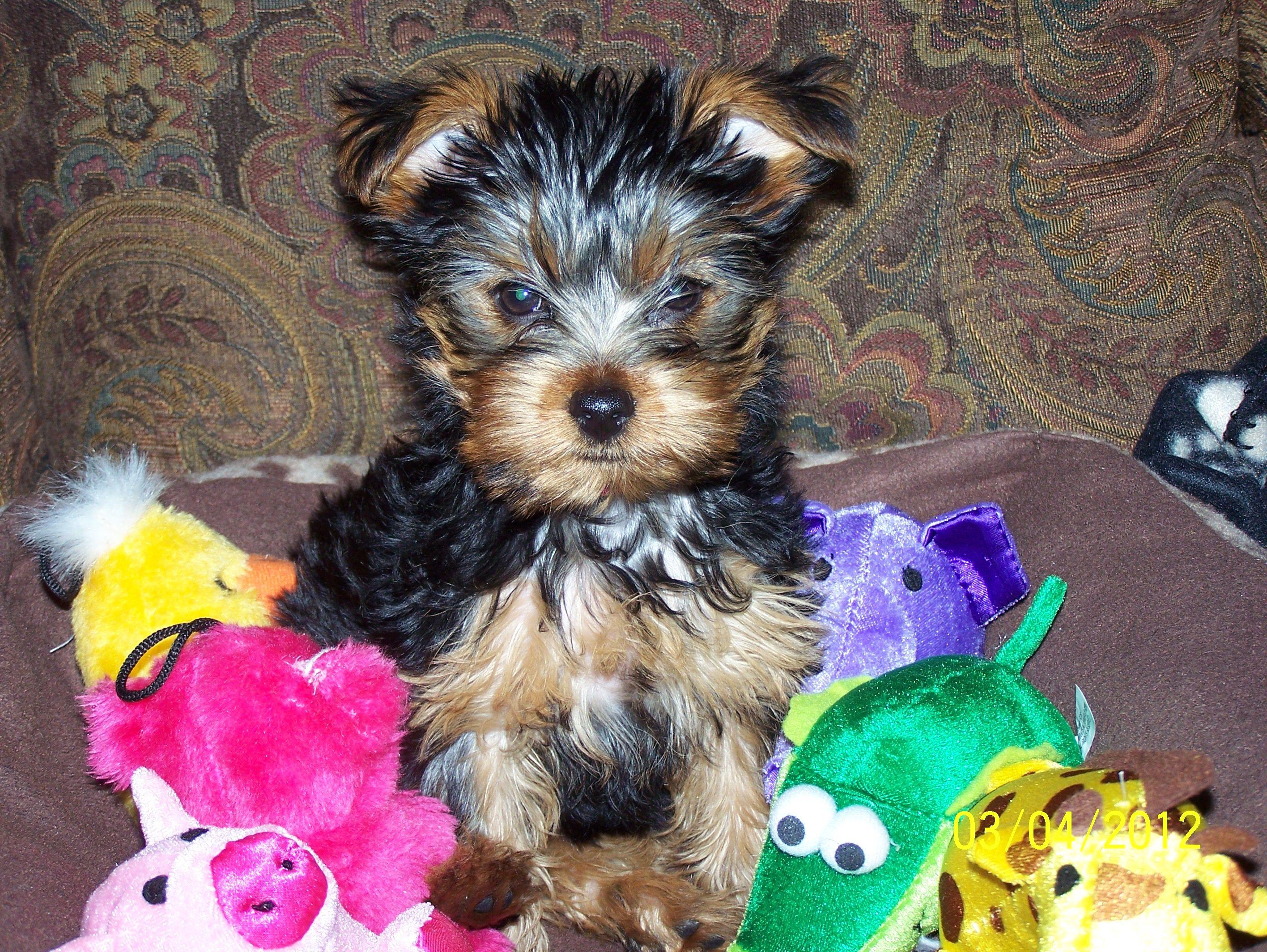 Yorkie Puppy Yorkie Puppy Yorkie Puppies