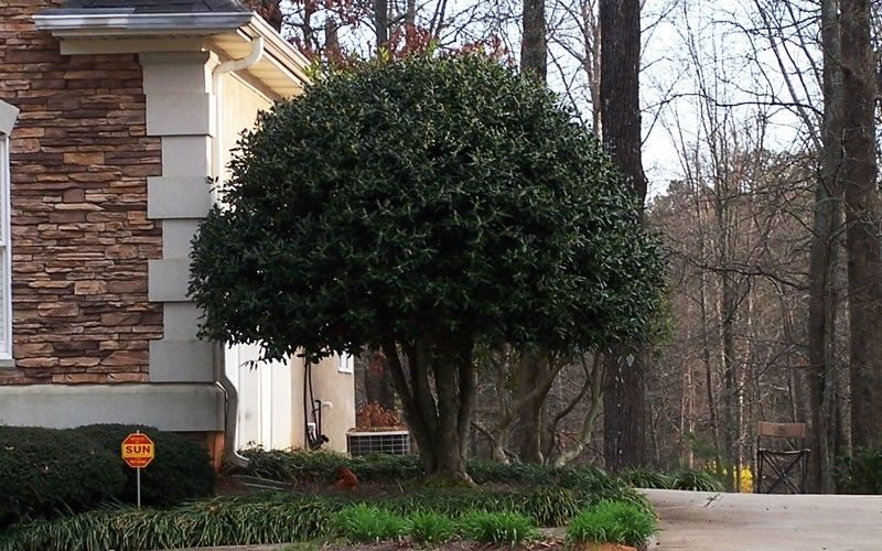 Nellie R Stevens Holly Picture Gardenality Holly Pictures Holly Bush Buy Plants