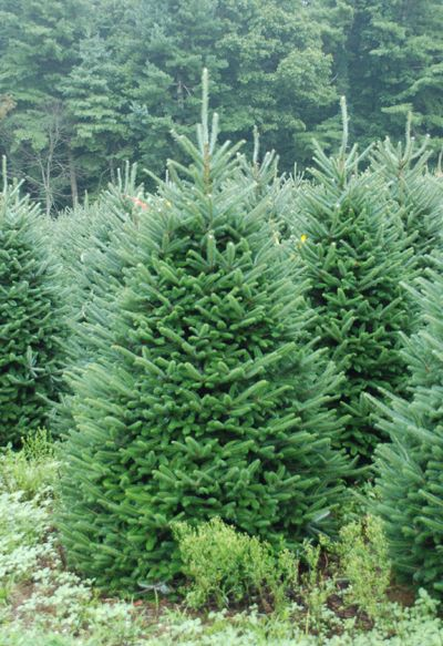Pictures Of North Carolina Fraser Fir Christmas Trees Tree Farm Pictures Fraser Fir Christmas Tree Christmas Tree Farm