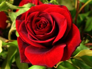 Information Technology Flower Delivery Flower Delivery Flowers Red Roses