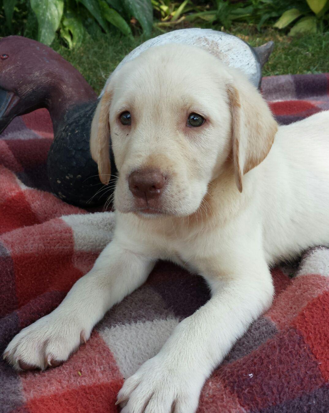 Bruser A Male Labrador Retriever Pup For Sale In Jonestown Pennsylvania Labrador Retriever Puppies Labrador Retriever Puppies