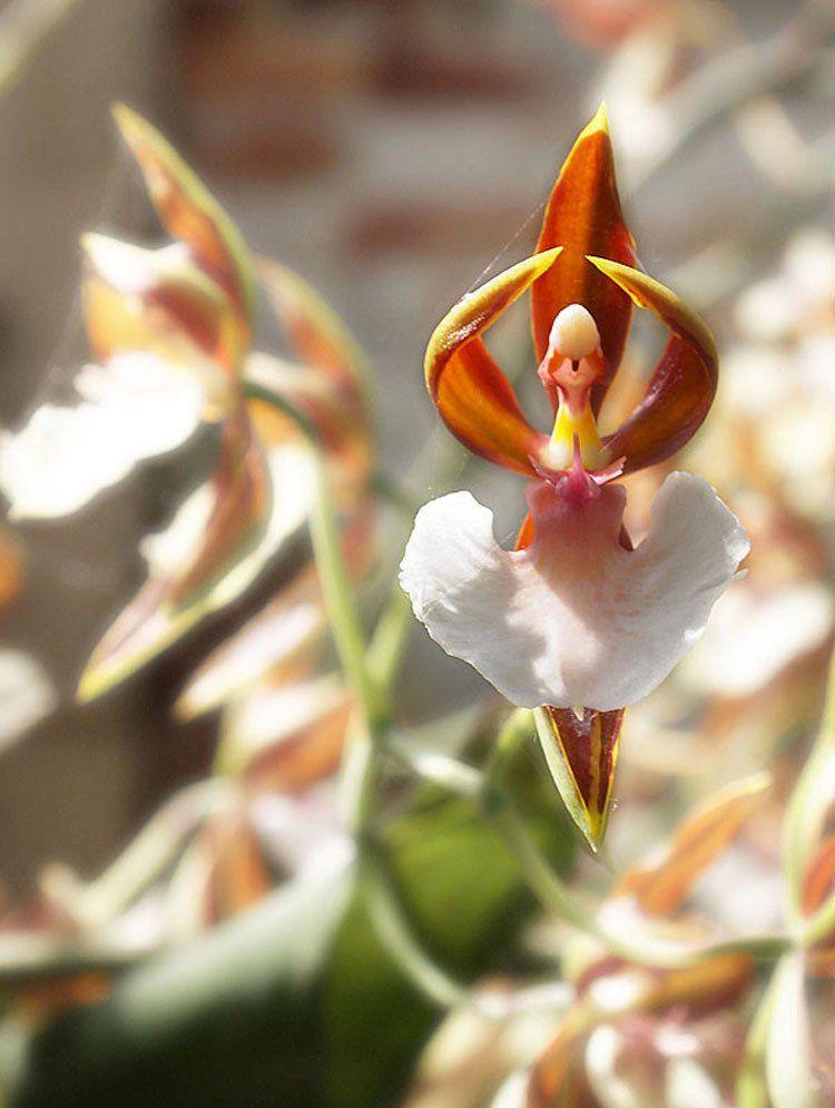 Orquídea dama danzante (Oncidium)