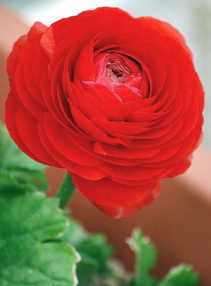 Red Ranunculus Beautiful Flowers Red Flowers Amazing Flowers
