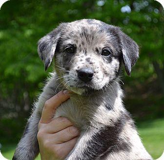 Catahoula Leopard Dog Labrador Retriever Mix Puppy For Adoption In