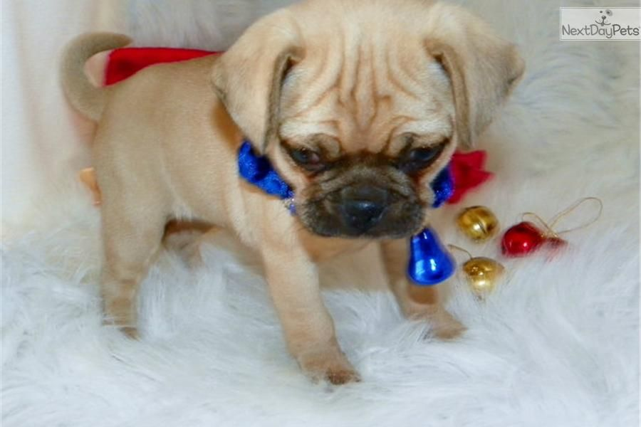 Meet Lacee A Cute Puggle Puppy For Sale For 700 Beautiful Little