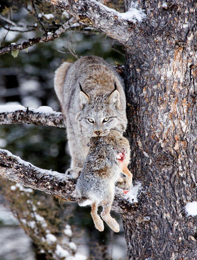Canadian Lynx (Lynx canadensis) Lynx, Big cats, Animals