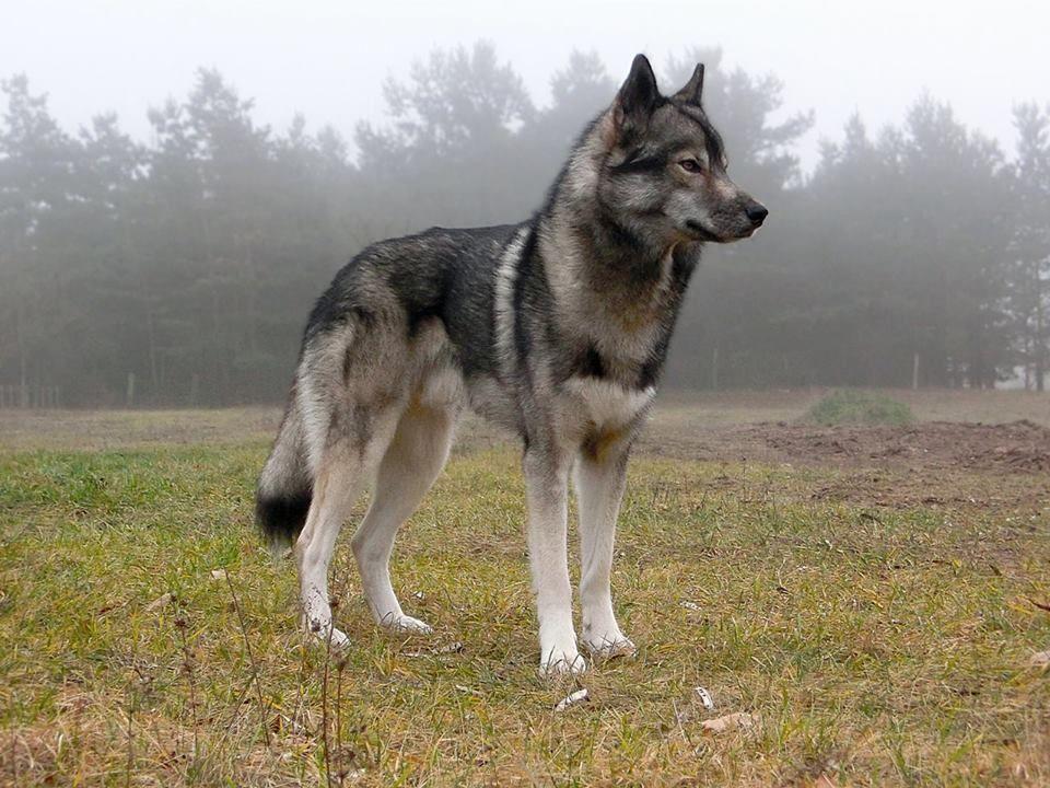 Wolfshund Rassen
